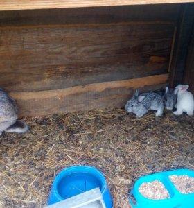 Крольчата месячные,
