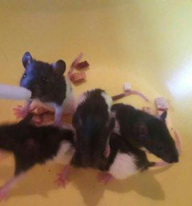 Крысята.  ..БЕС ПЛАТНО ОТДАМ..1МЕС.