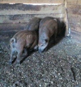 Обменяю венгерскую мангалицу на бычка