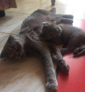 Продам котят вислоухих