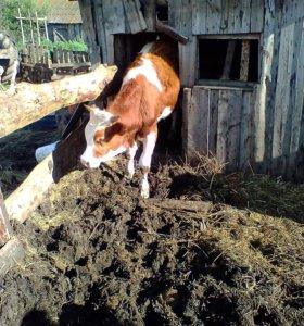 Продам скот.