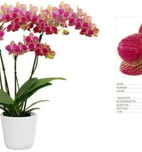 Орхидея lullaby в цвету