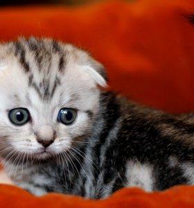 Котенок вислоухий шотландец мальчик