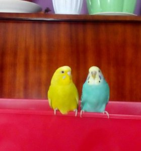 Волнистые прирученные попугаи