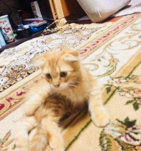 Простые полу породистые котята
