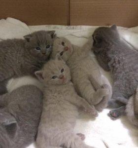 Британские котята( породистые). Вислоухие 2500руб