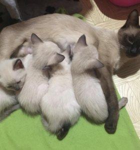Чистокровные тайские котята