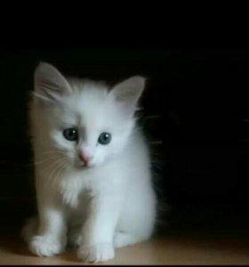 Котёнок белый