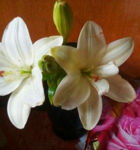 Срезка лилии