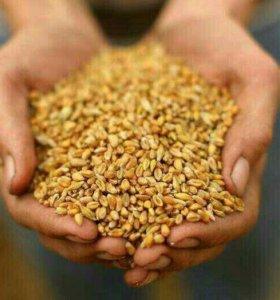 Пшеница 50 тонн.клейковина 18. Протеин 12.5