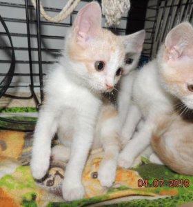 Рыжики-Котятки-мальчики 2мес в любящую семью
