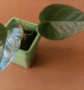 Антуриум.комнатный цветок