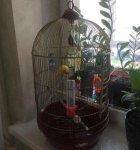 Попугаи неразлучники с клеткой и аксессуарами
