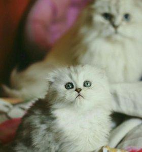 Шотландские котята 2 месяца