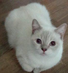 шотландский котик БЕСПЛАТНО