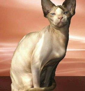 Взрослая кошка канадского сфинкса