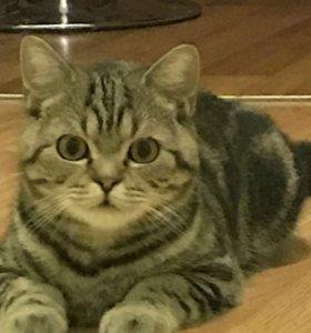 Британский кот, вязка,