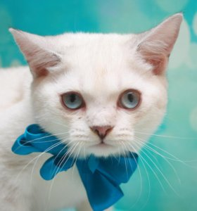 котик с голубыми глазами