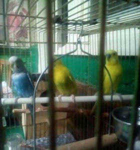 Продаю Волнистых попугайчиков 1мальчик и 2 девочки