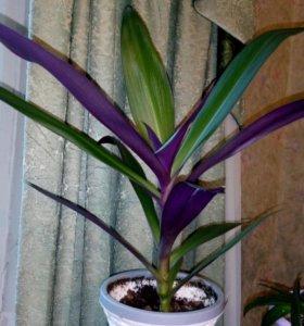 Комнатный цветок Рео