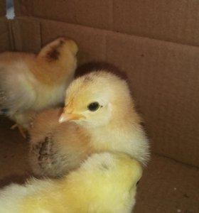 Домашние курочки-цыплята (самки)
