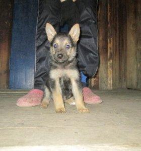 щенок(девочка) немецкой овчарки