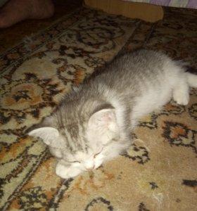 Котята скотиш фолд