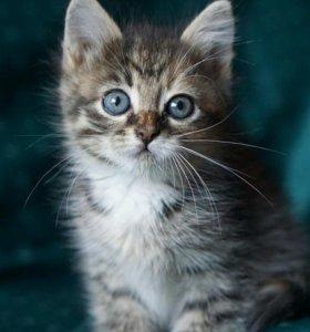 Котенок-девочка Бонечка, возраст около 1,5 мес.