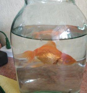 Одноглазая золотая рыбка бесплатно