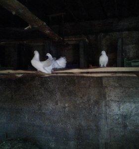 Продаются голубей(павлины и батинцы)