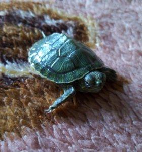 Красноухие черепахи 2 шт