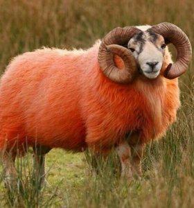 Овцы на мясо