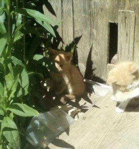 рыже-белые котята