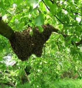 Сниму рой пчел