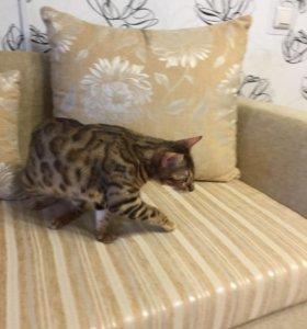 Продаётся бенгальская кошка