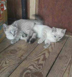 В дар котенок с сероголубыми глазами