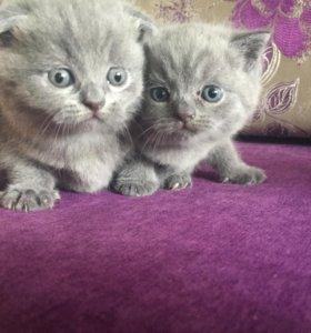 Продам британских котят,девочка и мальчик