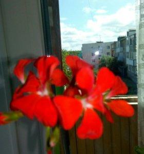 Пеларгония красная.