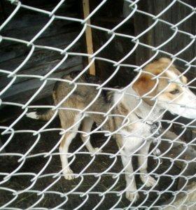 Собака порода гончая( кабель)