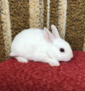 Кролик карликовый девочка