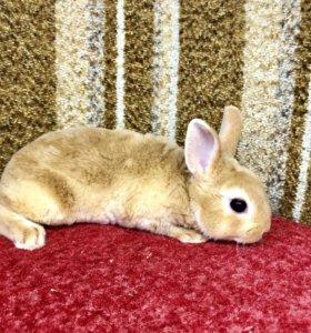 Карликовый кролик мальчик