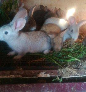Кролики 3 мес. - 400 руб.