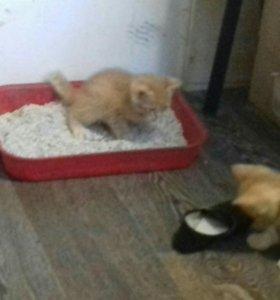 Котята от дикой,одомашненой кошки даром.