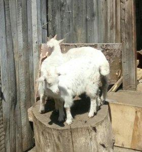 Продаются козы дойные
