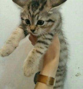 Котята (1.5 месяца)