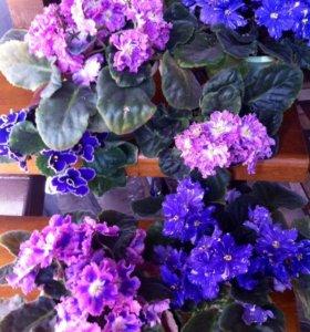 Фиалки цветущие,листочки,детки
