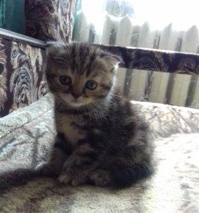 Шотландские котята с паснортом