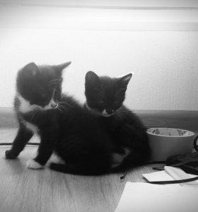Котята 1,5 месяца