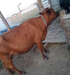 Корова дойная и 6 мес тёлка