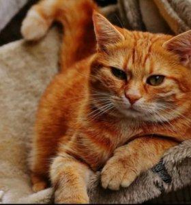 Рыжий кот в дар, рыжий котенок, кот в добрые руки